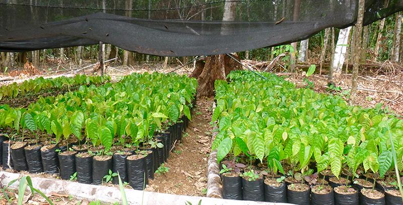 Desarrollo de la oferta productiva de Cacao Fino y de Aroma bajo Sistema Agroforestal de 700 Ha. en tres Poblados del Distrito de Cholón